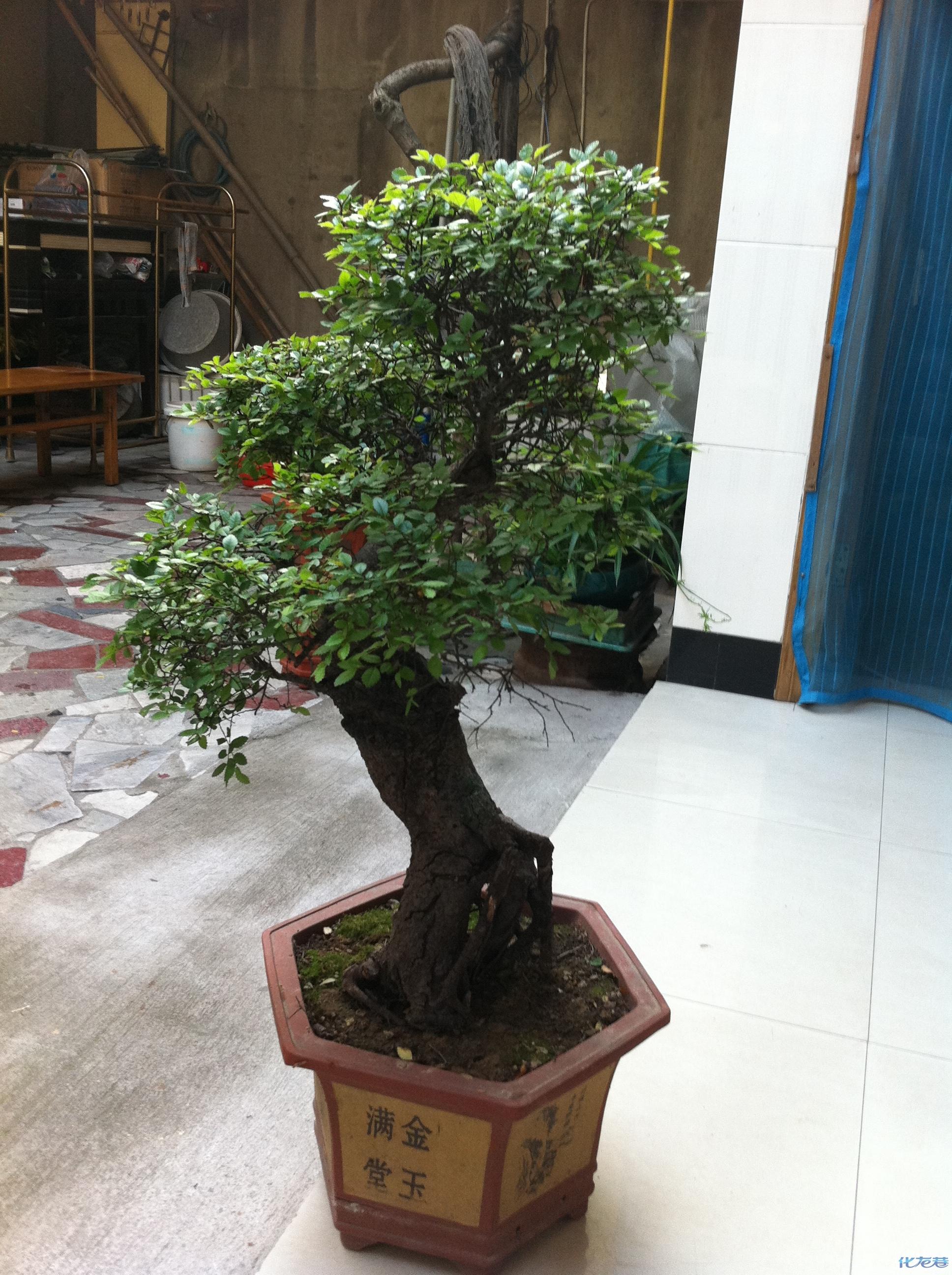 我家的榆树盆景---------------因为房子要拆迁了