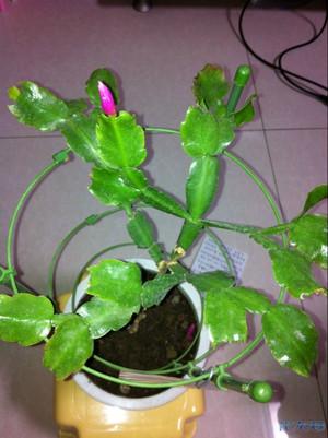 蟹爪兰嫁接叶仙生长激情贴,春天来了,正准备最后一次像其他花姘美图片