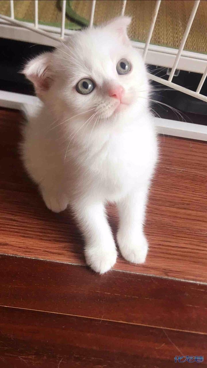 加微信号可以看视频咨询,价格美丽,让你心动,小奶猫都是萌萌哒小小