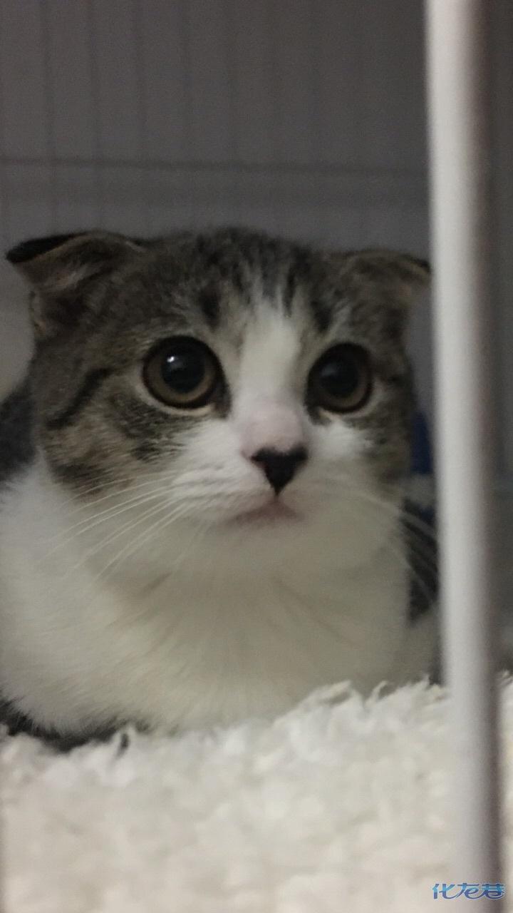 一只蓝眼睛dd,一只金黄色眼睛dd,起司母猫爱心小鼻子,本猫更漂亮可爱