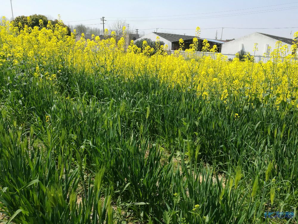 平常又胜人的的郊外风景:油菜花成片,绿麦成浪,阳光照