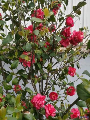 春天真美好,外墙边,山茶花与紫荆也开了!真的是非常漂亮了!