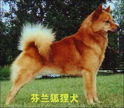 请问狐狸犬是什么狗啊?