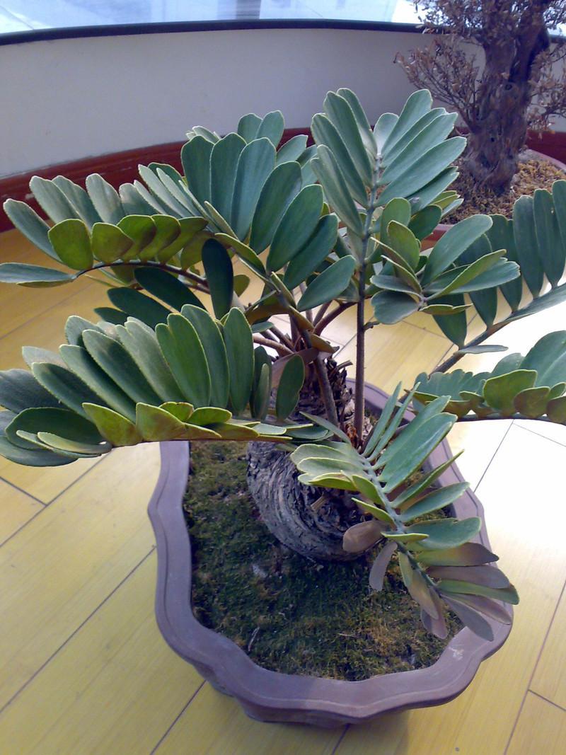 默认相册 - 巴西铁树