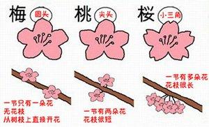 梅、桃、樱怎么区分