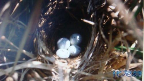 【城南往事】屋檐下的燕子鸟巢,给主人家带来好运,爬上高高的大树取鸟
