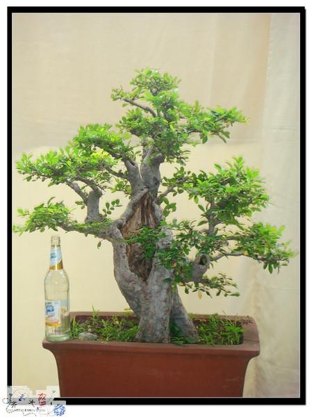 出售榆树盆景.价格优惠