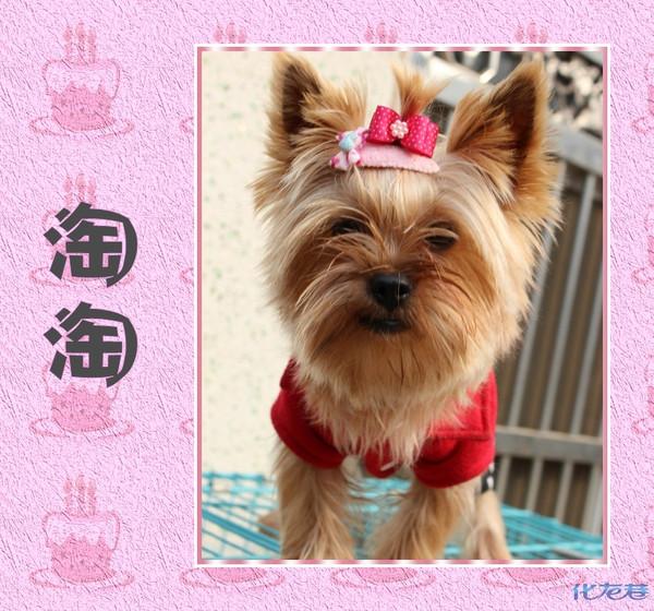 """【宠物变变变】一般一般,世界第三——最萌的茶杯狗""""哆咪宝宝""""!"""
