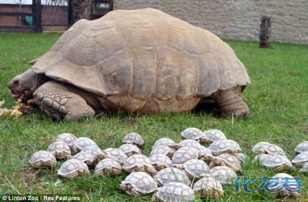 据外媒21日报道,美国马塞诸塞州林顿动物园的一只苏卡达象龟要抚养45