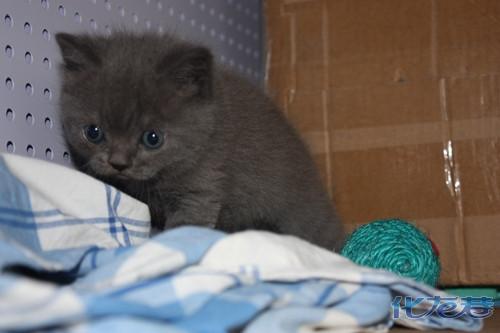 可爱滴折耳小蓝猫50天照片