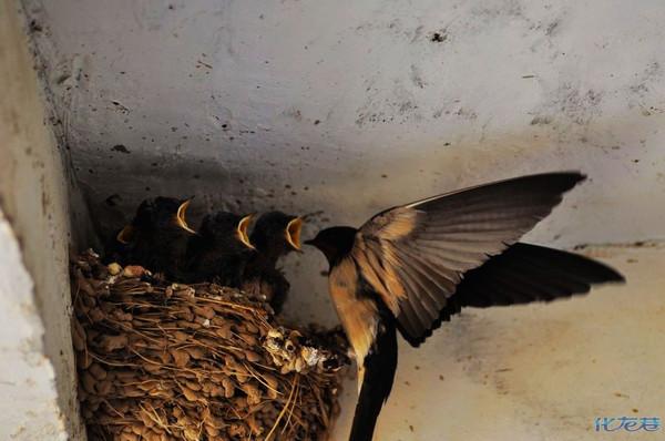 燕南飞啊,雏燕出窝要远行啊,一共6只小燕子非常可爱