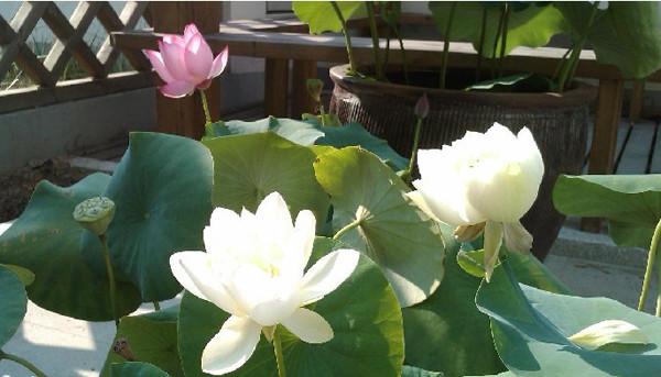 引入碗莲,藤本牡丹