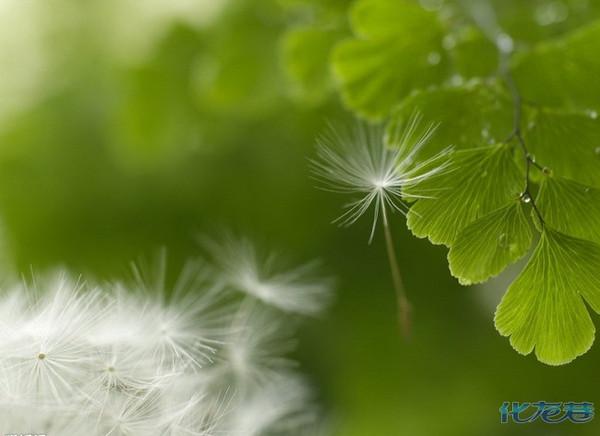 蒲公英是春天夏天草地上习见的一种野草