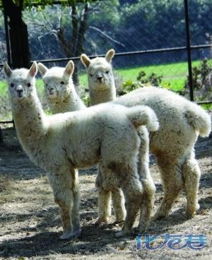 """据介绍,目前动物世界羊驼种群已达25只,成为全国最大的""""萌主""""."""