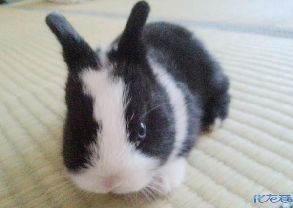 世界上体型最小的兔子道奇侏儒兔和一月大纯色稀有兔
