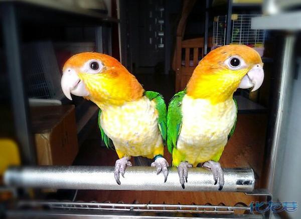 金头凯克 超萌,大爱鹦鹉,看看这两只可爱的小伙伴,多淘气啊!