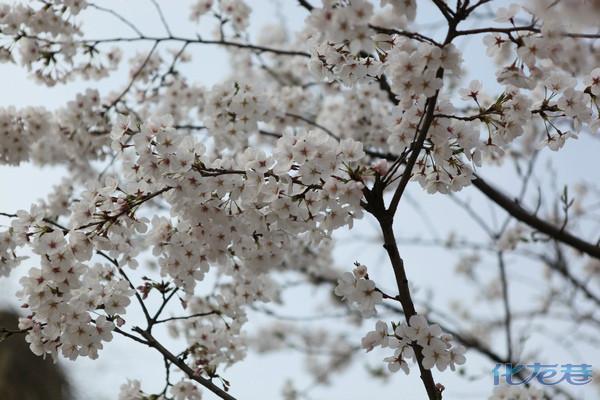 古风 樱花海 祈愿树 汉服美女 淹城盎然赏春色