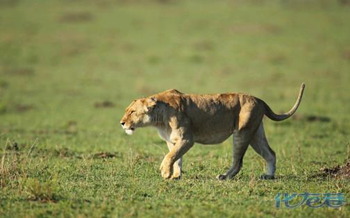 """常州淹城野生动物世界的母狮""""玛丽""""顺利生产"""