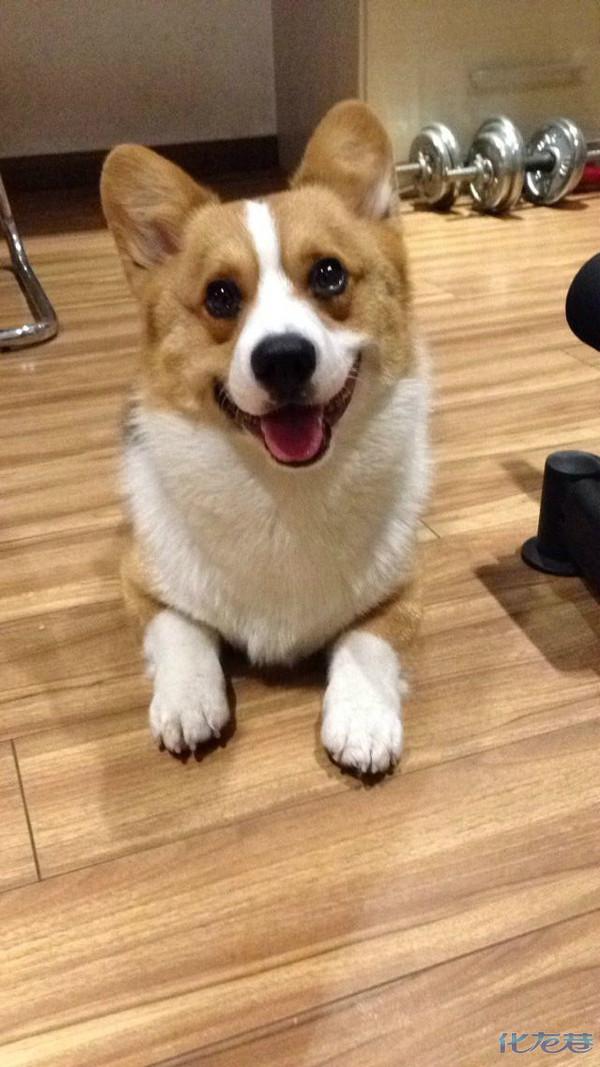 我家的会笑的柯基犬宝贝——柯南!