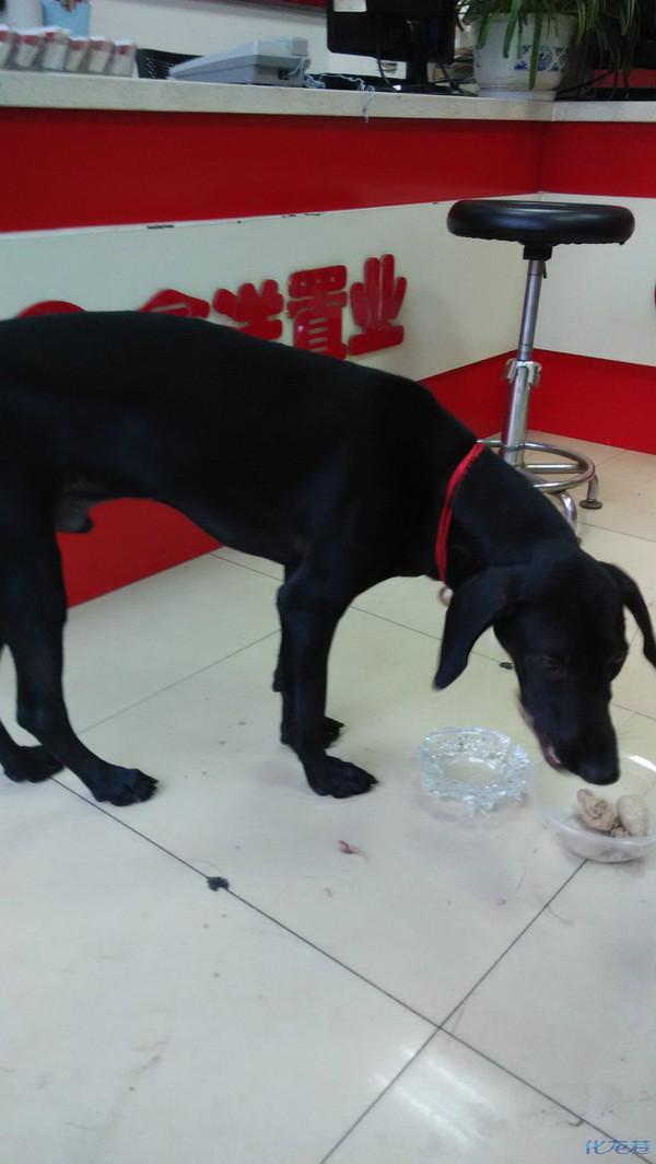 谁家的狗丢了 身上全黑 脖子上有个红色的绳子系了个铃铛 在勤业这