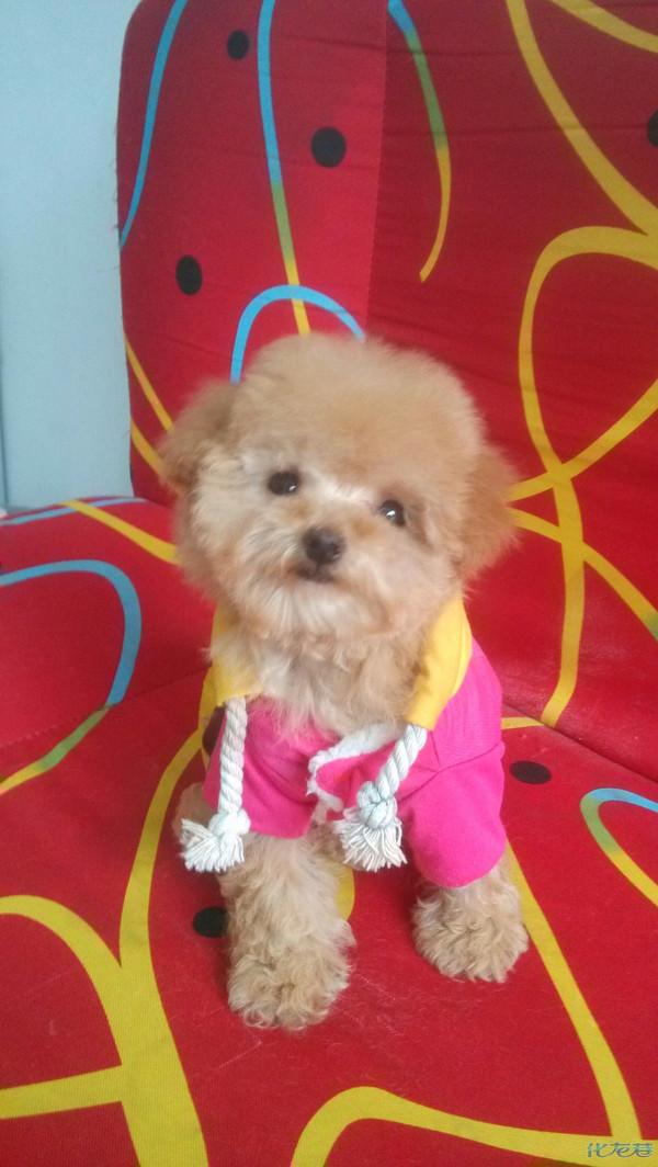 帮朋友家出售香槟色可爱泰迪茶杯犬一只!