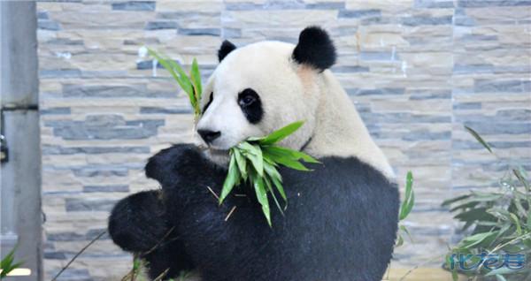 常州淹城野生动物园,两只4岁大熊猫今天起与了