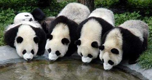 一组非常可爱的熊猫图片